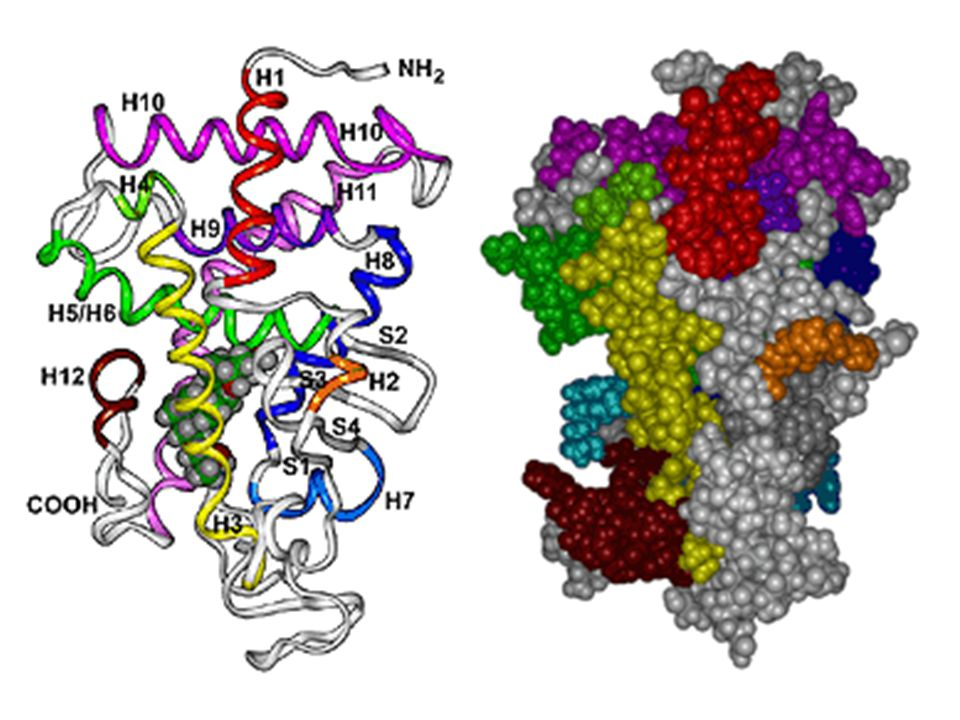 Vitamin D Nuclear Receptor Three-dimensional model of the ligand binding domain (LBD) of the nuclear receptor (VDR) for the steroid hormone, 1a,25(OH)2-vitamin D3 [1a,25(OH)2D3], based on the atomic coordinates of the nuclear receptor for thyroid hormone. The left panel illustrates the twelve a-helices of the protein (presented as ribbons) and four b-strands that collectively define the LBD of the VDR. Each helix has its own unique color.